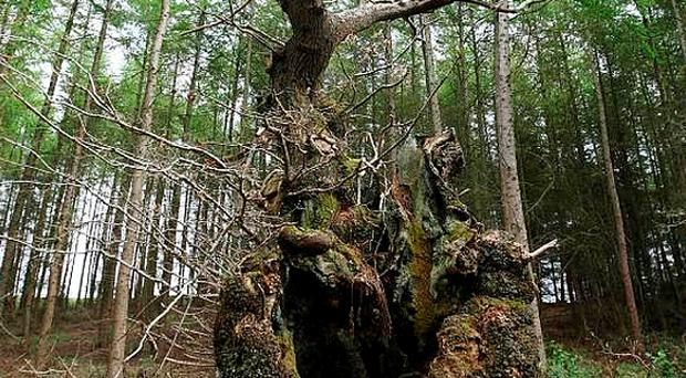 This oak tree, which is situated in Belfast's Belvoir Forest Park, is believed to be the oldest in Ireland