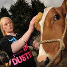 Stephanie Farren from Ballyclare cleans her Ayrshire before the show. May 2010