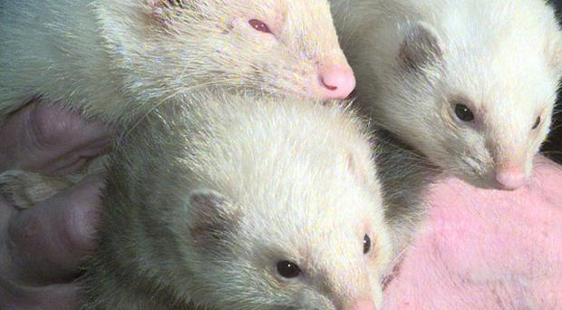 A charity contest, in which ferrets are placed down competitors' trousers, has been defended