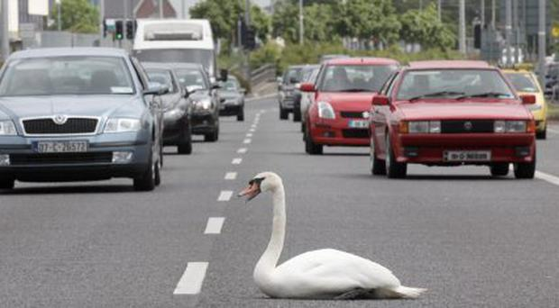 Swan...Wednesday 2nd June 2010. Why did the chicken or is that the Swan cross the Road!! A swan pictured on Dublin's Long Mile Road in a spot of bother. Picture Jason Clarke. No Repro Fee.