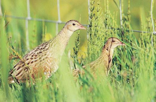 A pair of Corncrakes
