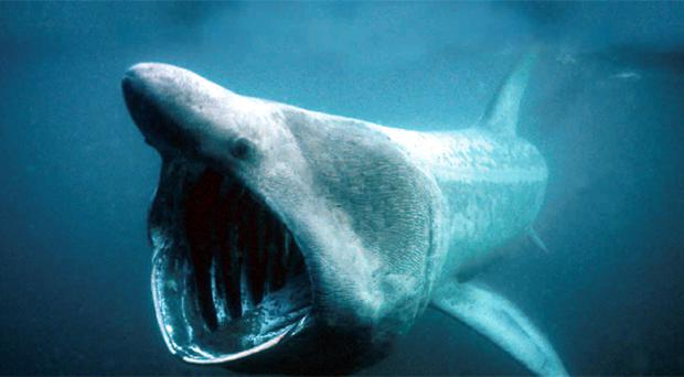 Basking sharks have been spotted swimming off the north coast