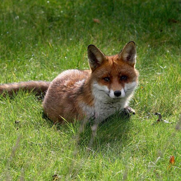 Controlling urban foxes is a matter for local authorities, the Government says