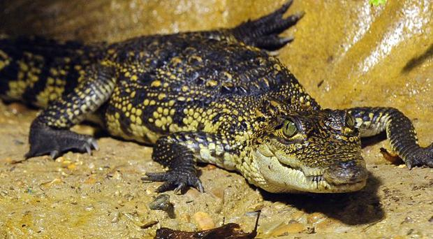 Crocodile meat is being smuggled due to a surge in trade in bushment, according to a report