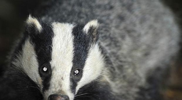 Line-painters left a gap round the body of a dead badger