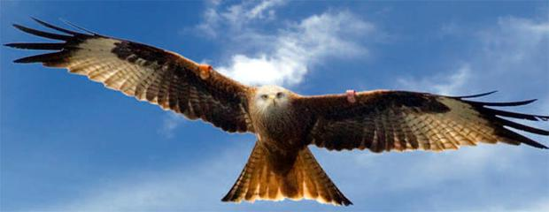 Taking flight: The reintroduction of red kites began in 2008