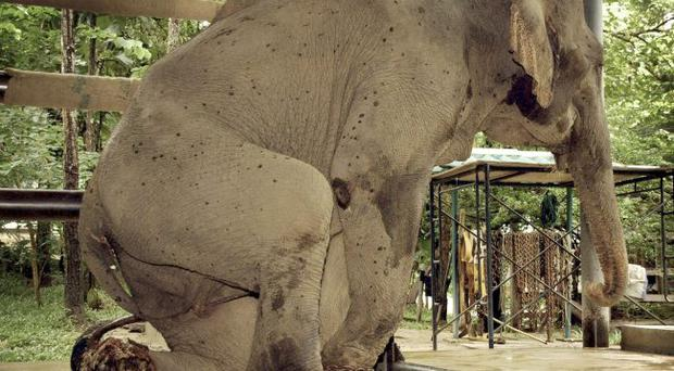 Mae Ka Pae, a 22-year-old female elephant, rests her wounded leg before treatment for landmine injuries