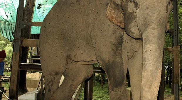 Mae Ka Pae, a 22-year-old female elephant, stands while resting her wounded leg at an elephant hospital in Lampang province, northern Thailand (AP)