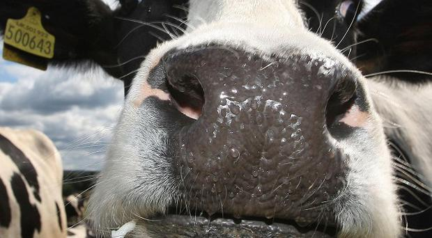 Meat from three offspring of a cloned cow has entered the food chain