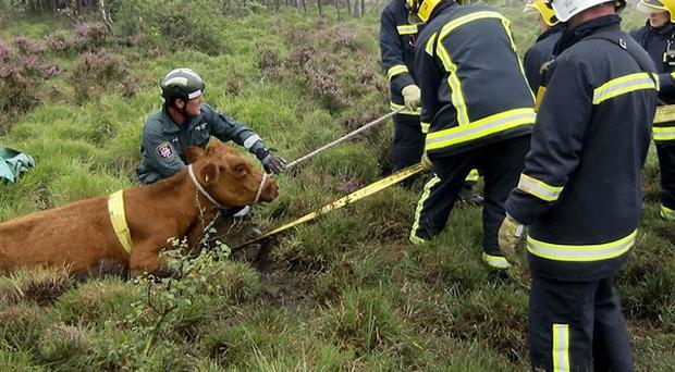 A cow being rescued from a bog at Woolmer Common, Bordon, Hampshire