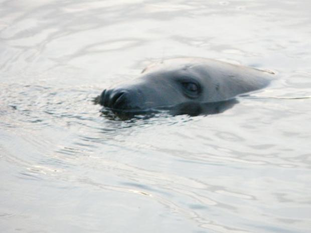 Seal takes an icy dip in the Lagan at Drumbeg, Co Down