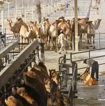 Camels wait their turn for milking at the Camelicious farm in Dubai, United Arab Emirates.