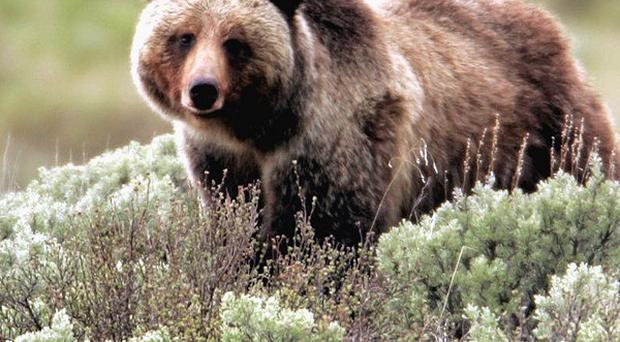 Yellowstone's grizzly bears are going to be particularly hungry this autumn