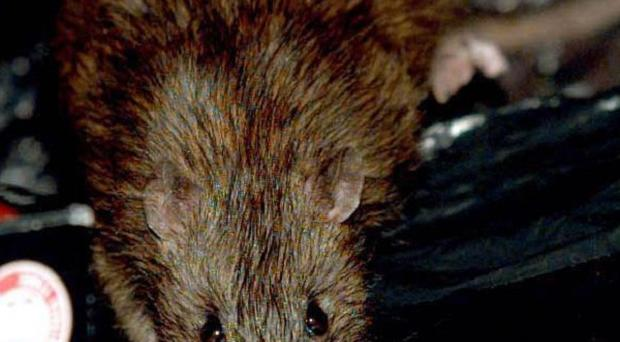 Ten people died from a disease spread by rats in Malaysia