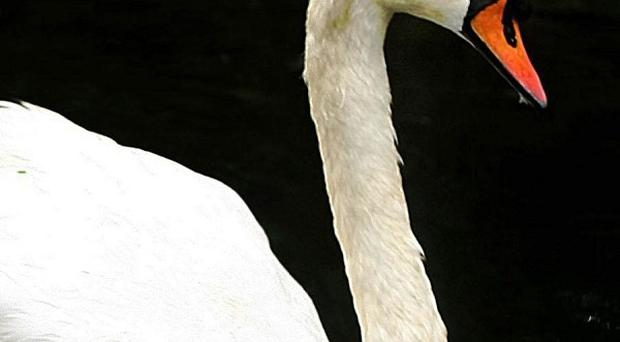 A motorbike rider was injured after colliding with a swan