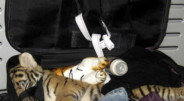 A tiger cub was found in the suitcase of a woman flying from Bangkok to Iran (AP)