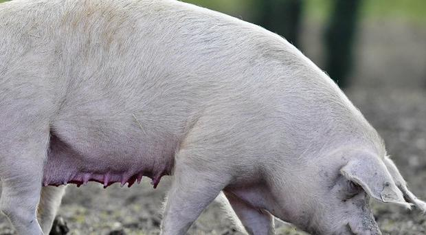 Hundreds of piglets and sows have died in a blaze at a farm in Lincolnshire