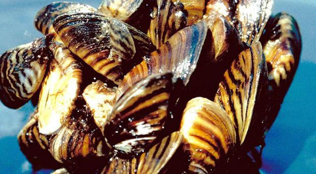 NIEA has warned that the Zebra mussel species poses a threat to both boats and water treatment plants (AP)