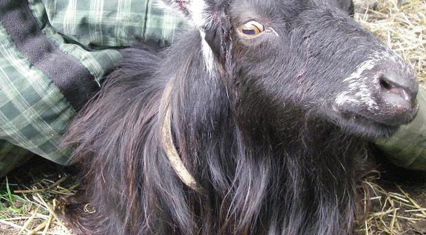 Sidney the goat was put down after its horns were pulled out (RSPCA)