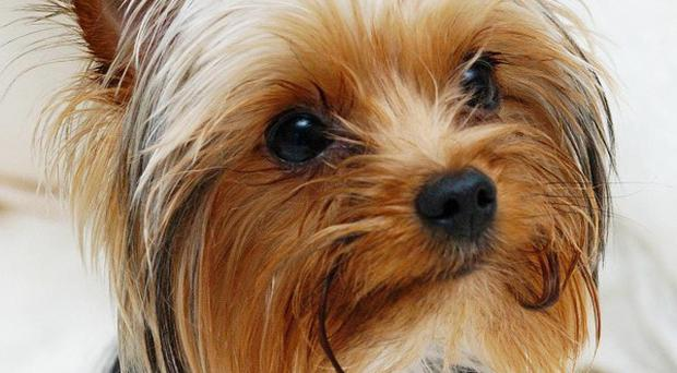 A Yorkshire terrier has been stolen from outside a family home