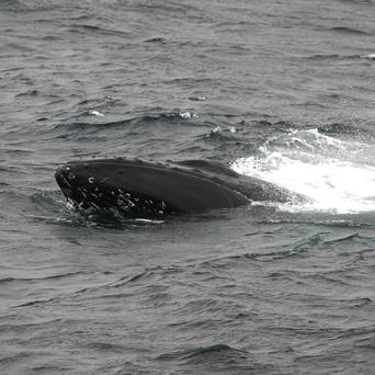 A humpback whale entangled in fishing lines off the Shetlands could be free, say rescuers