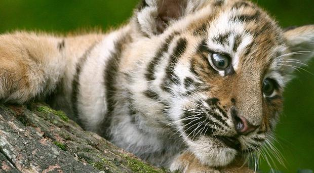 Tiger conservation should prioritise key sites, researchers have urged