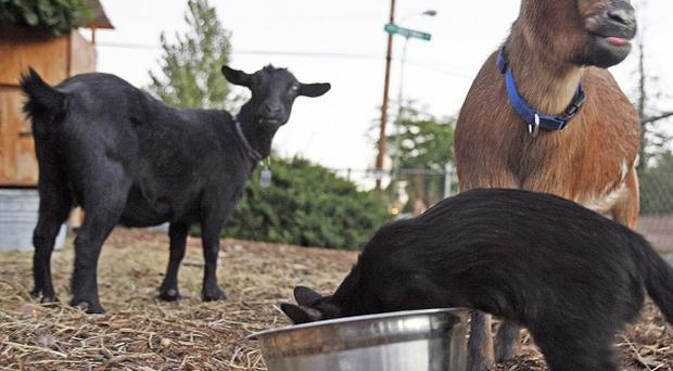 Two goats survived a drive-by shooting in Santa Fe in which another goat died (AP)