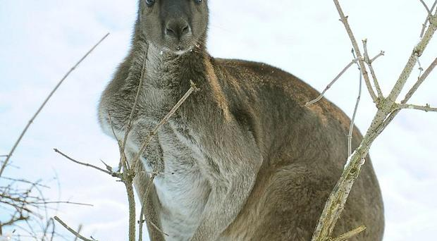 Three Australian teenagers are being investigated after reports a kangaroo was beaten and killed
