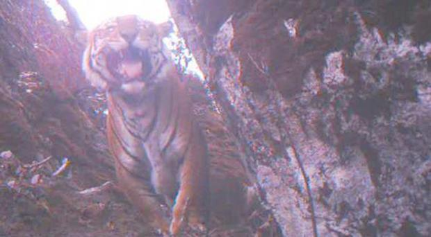 BBC screengrab showing a Bengal Tiger taken from the documentary, Lost Land of the Tiger.