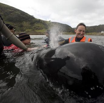 Volunteers comfort a whale after it was moved to a nearby stream to rest (AP)