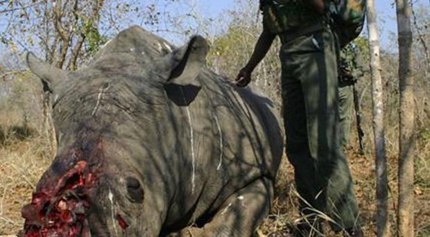 The corpse of a slaughtered rhino lays on the ground in a national park in South Africa (AP)