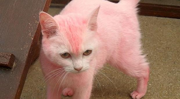 A cat dyed pink by its owner is being returned, the RSPCA said