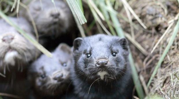 5,000 mink have been released into the wild in the Republic of Ireland