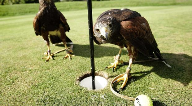 Undated handout photo of two of the birds that have been trained to fly mini banners in support for Team Europe over the Celtic Manor course