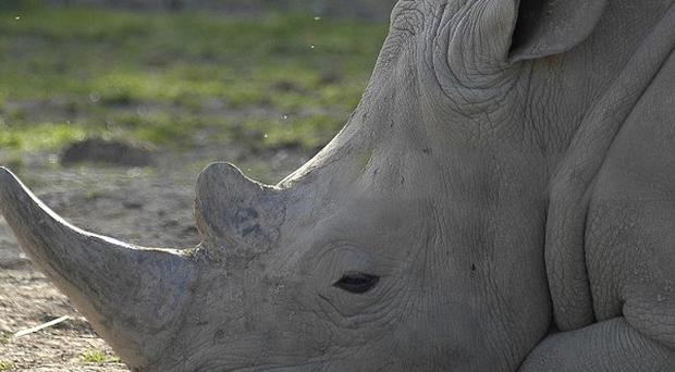 A man has been jailed for attempting to smuggle white rhino horns