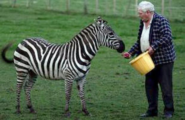 Hugh Simpson feeds his pet Zebra Verry. Picture: Colm O'Reilly/ Pacemaker Press