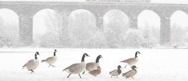 Canada Geese (Branta canadensis) with Northern Rail train on viaduct, Reddish Vale Country Park, Greater Manchester, which won an award at the British Wildlife Photography Awards.