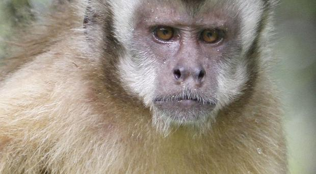 A newborn baby died after being snatched by a monkey from a family's living room, according to Malaysian news reports (AP)