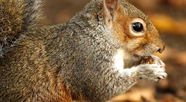 Police searching for car vandals found the culprits to be squirrels