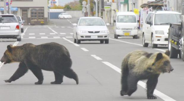 Two brown bears walk on a street in Shari in Hokkaido, northern Japan.