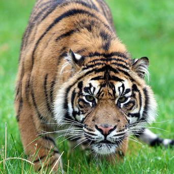 Indian poachers can be jailed for up to 10 years for killing tigers, rhinoceros and elephants