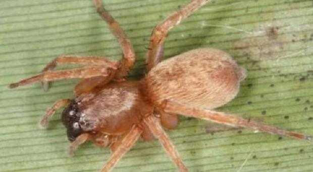 The rare Clubiona rosserae spider that was feared extinct in the UK has been discovered