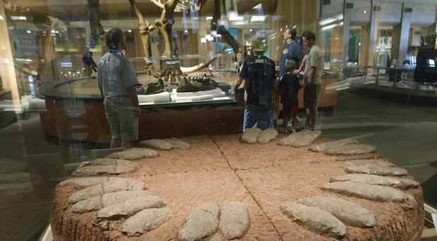 A fossilised nest of 26 dinosaur eggs is displayed at the Museum Centre in Cincinnati (AP)