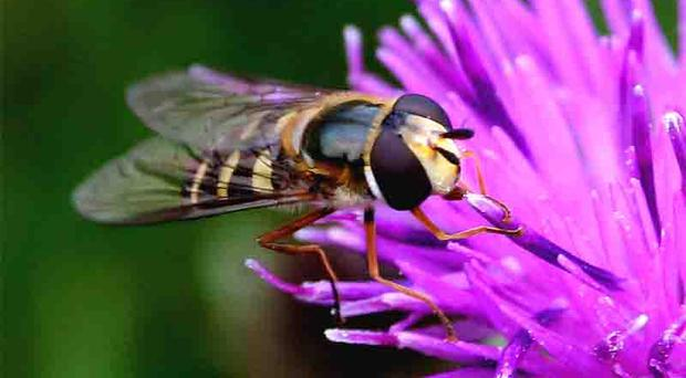 Laganscape snaps: Bruce Marshall, Hoverfly on thistle