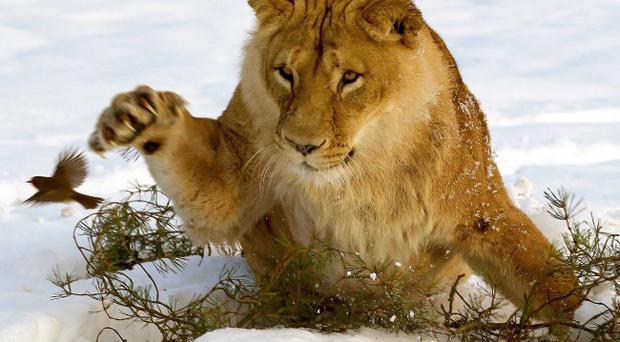 A lioness eyes up a Robin red breast before pouncing for it in the snow at Blair Drummond Safari Park in Scotland.