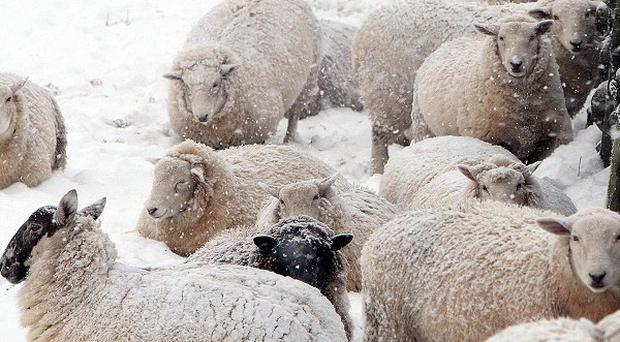 Rising price of meat blamed for rise in sheep rustling cases