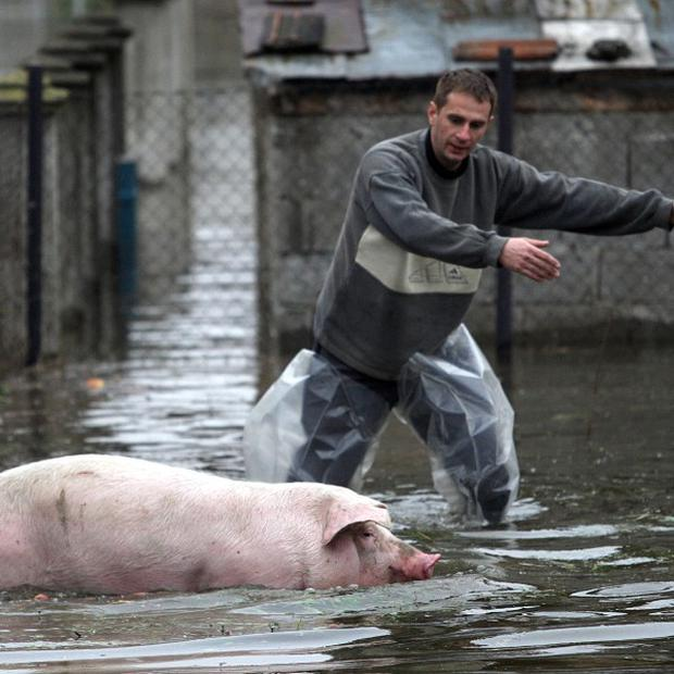 A local villager evacuates a pig from a household in Banja Koviljaca, Serbia (AP)