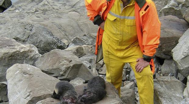 A Department of Conservation officer with some of the the 23 fur seals clubbed to death at a New Zealand breeding colony (AP)