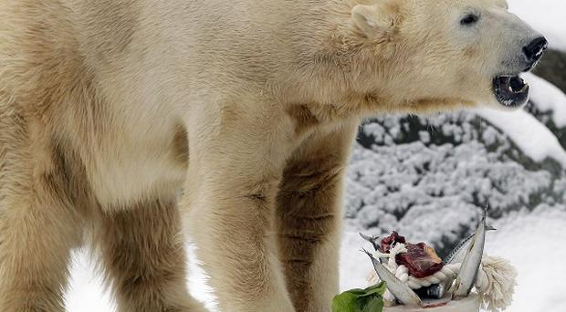 Polar bear Knut stands behind his 'birthday cake' to celebrate his 4th birthday (AP)