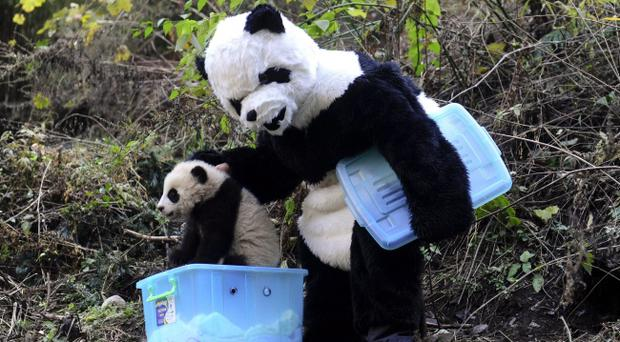 A scientist picks up a cub to return it to the wild at the Wolong Giant Panda Reserve, Sichuan, China
